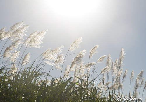 光を浴びて輝く穂