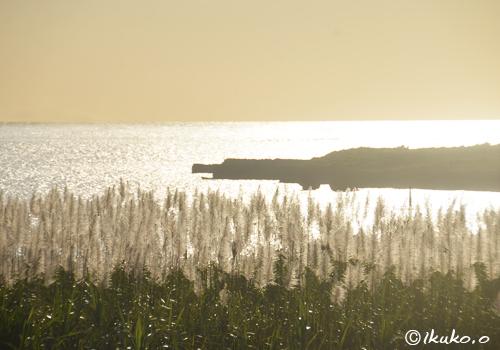 黄金色の海とサトウキビの穂