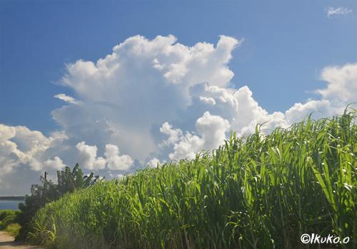 さとうきび畑の上に浮かぶ入道雲