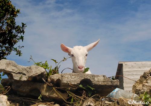 塀からのぞくヤギ