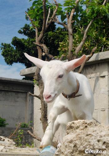石垣に登るヤギ