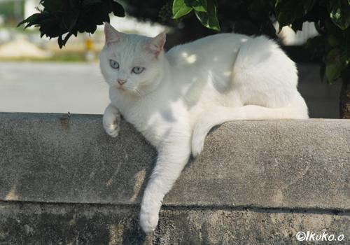 アンニュイな島猫