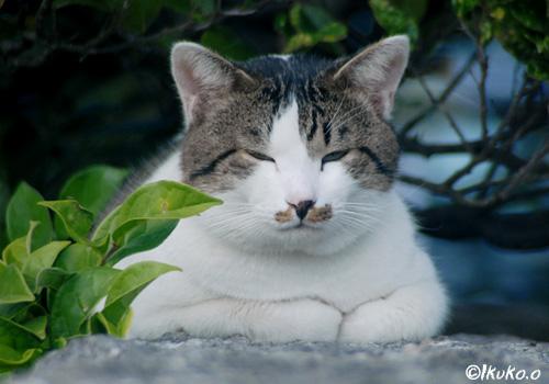 島のデブ猫
