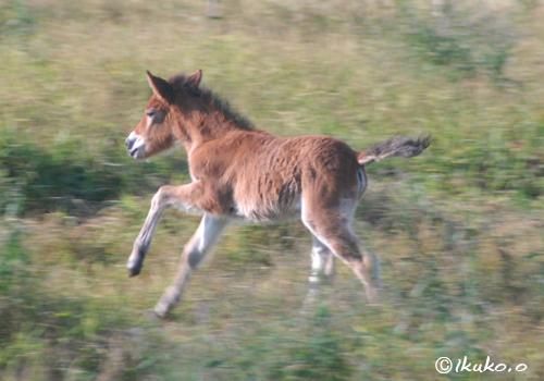 走り回る子馬