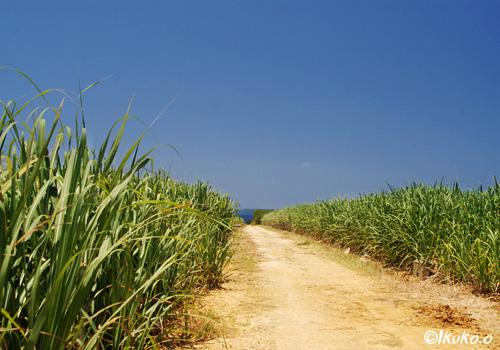 青空とサトウキビ畑