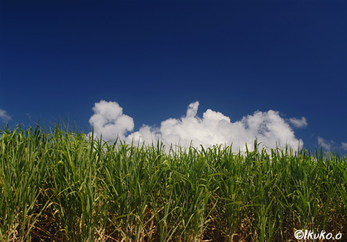 さとうきび畑の夏雲