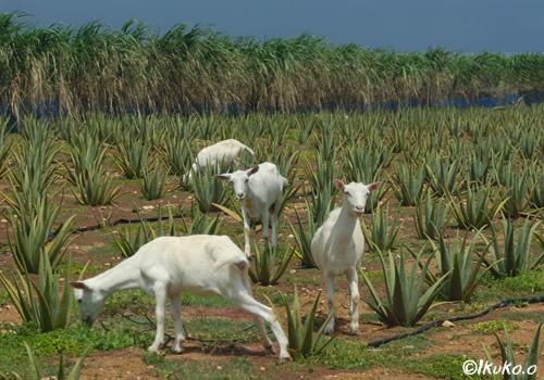 アロエ畑のヤギたち