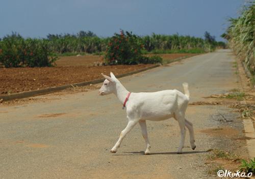 道路を歩く子ヤギ