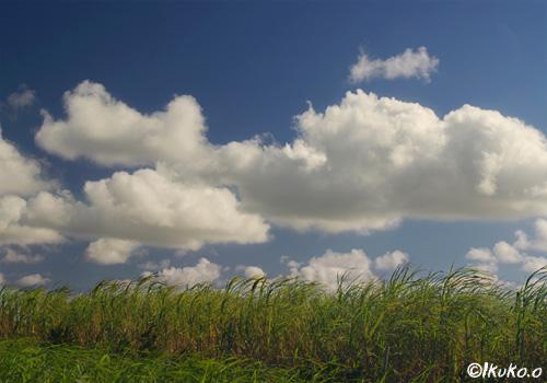 さとうきび畑に浮かぶ雲