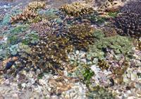 サンゴの花畑