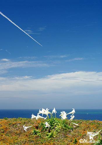 空と海と百合