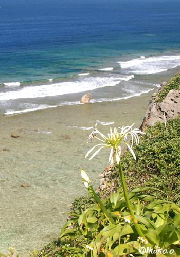 断崖に咲くハマユウ
