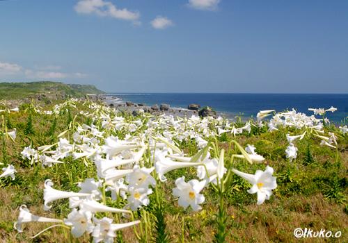 岬を覆う百合の花