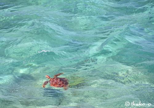 青い海を漂うウミガメ