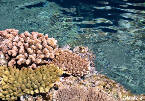 海上に現れたサンゴ