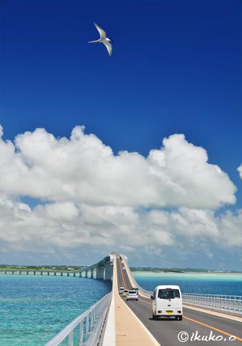 伊良部大橋の上を舞うアジサシ