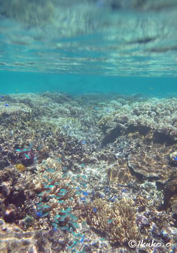 サンゴとスズメダイの群れ