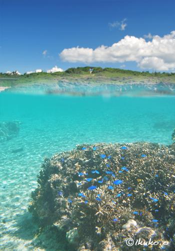 青空と珊瑚とルリスズメダイ