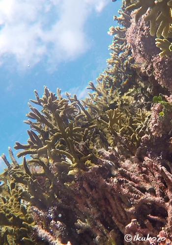 サンゴと青空
