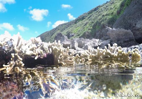 水面から出たサンゴ