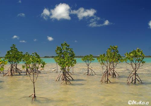 与那覇湾のマングローブ