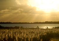 夕陽に輝くさとうきび畑
