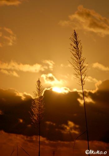 サトウキビの穂と夕陽