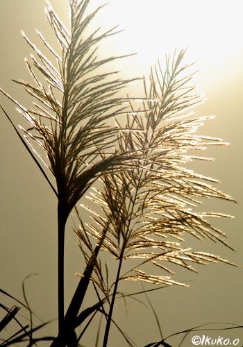 輝くきびの穂