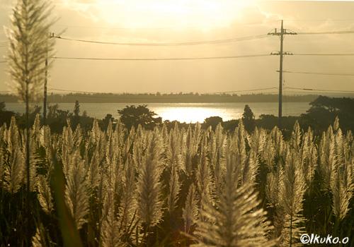 夕陽に輝くさとうきびの穂