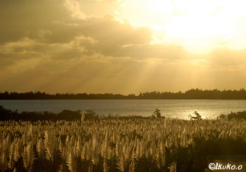 黄金色に輝くさとうきび畑