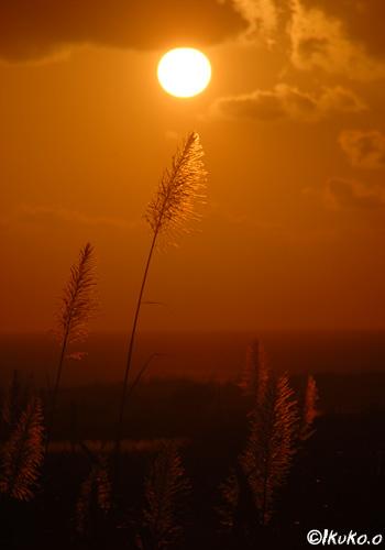 夕陽に向かってのびる穂