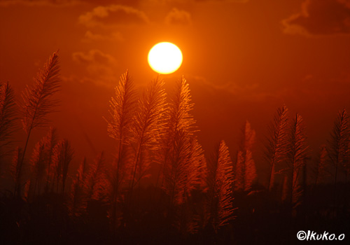 夕陽とサトウキビの穂