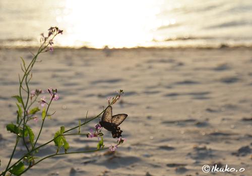 夕陽を浴びる蝶