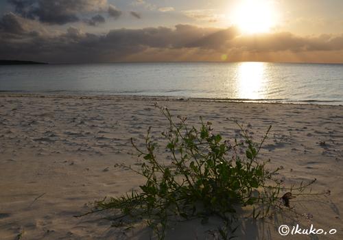 砂浜に咲く小さな花