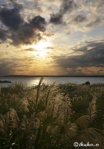 夕陽に輝くススキ