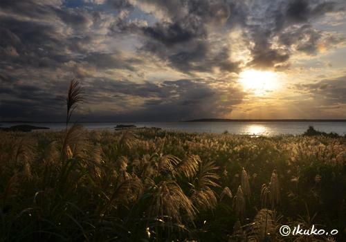 夕陽に輝くススキの群生