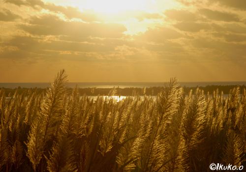 夕陽を浴びるさとうきびの穂